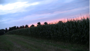 Cornfield_at_Sunset